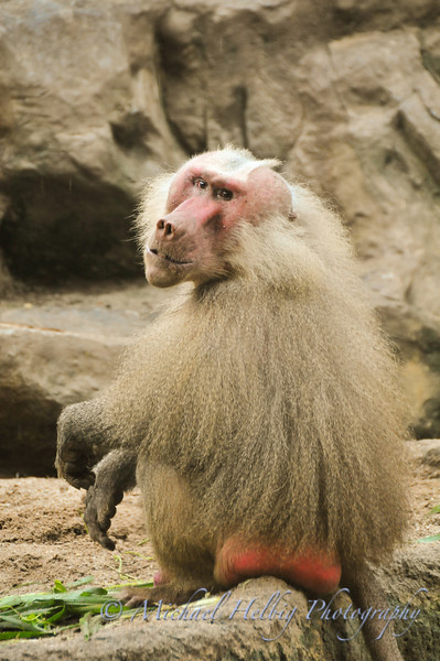 Singapore Zoo - Baboon