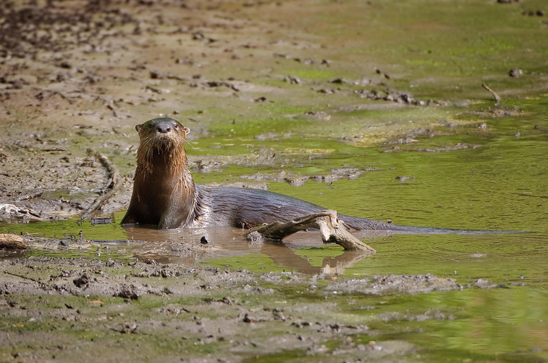 River Otter fishing in the almost dried up pond