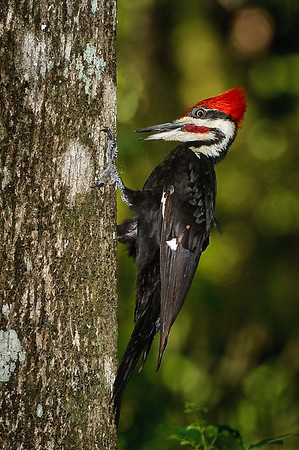Pileated Woodpecker with an interesting expression and eye contact