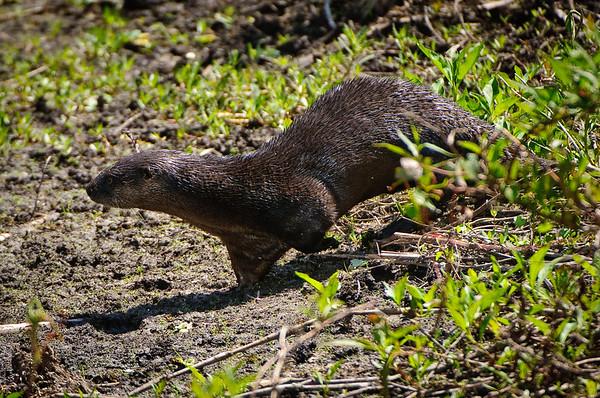 Otter at Otter Pond