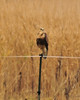 This isn't a good picture, but I thought it was a good idea.  I believe this to be a Rough-Legged hawk.  These are very beautiful birds, and quite common near the Samish Island road, and on the road to Bow.