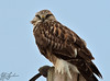 I thought for awhile that these were all Northern Harriers.  They're not!  I now believe this to be a Rough-Legged hawk.  These were very beautiful birds, and quite common near the Samish Island road, and on the road to Bow.