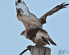 I now believe this to be a Rough-Legged hawk.  These were very beautiful birds, and quite common near the Samish Island road, and on the road to Bow.