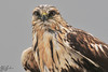 This is a rain-soaked rough-legged hawk.  I didn't quite get the clarity I would hope for here, but I think my teleconverter had something to do with it.  I really like this shot, but it would've been better to crop a bit more rather than getting the extra zoom at the expense of clarity.