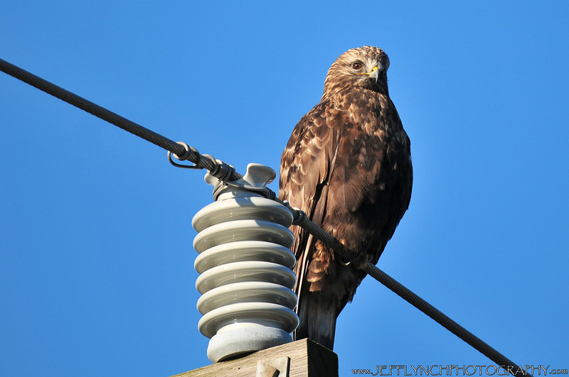Rough legged hawks are also back, although not in full force yet.