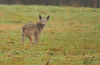 Skraggly looking coyote spotted just south of the Smokey Point shopping center