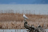2012 First snowy owl ever.  He was about 1/4 mile away, but I had to post this as my first sighting.