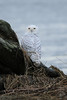 2012 Snowy owl.  Second attempt.  Ended up walking up way closer than I would've liked, but we just didn't see this guy until it was too late.