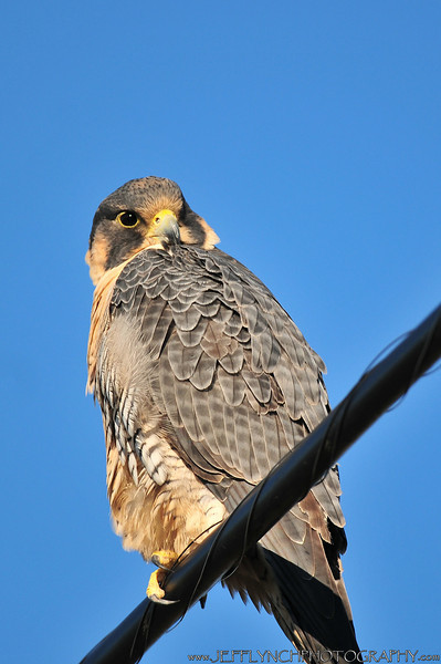 To date, this was the closest I've been to a peregrine with good light.  Soooo excited about this series.
