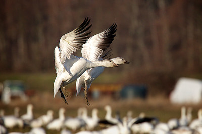 On final approach...Canadian Snow Geese