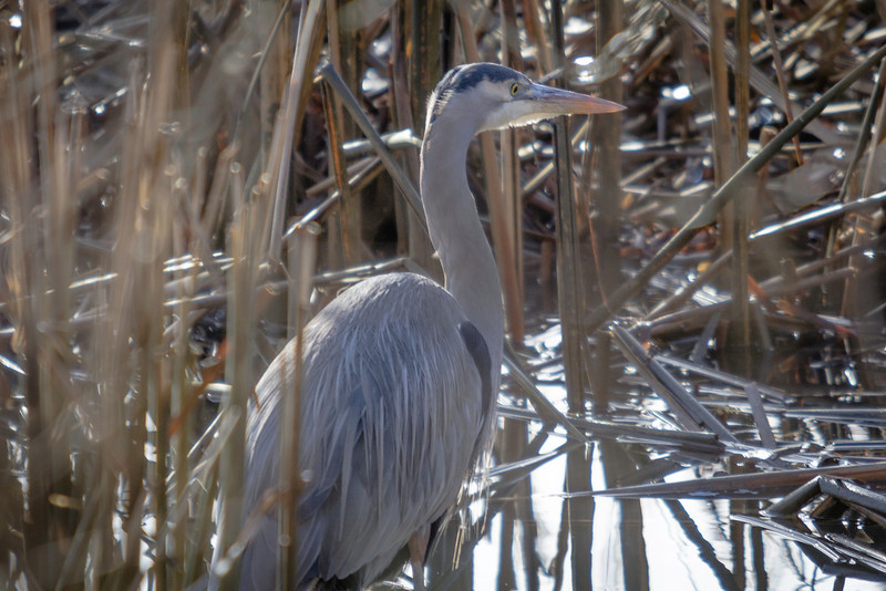 Great Blue Huron.
