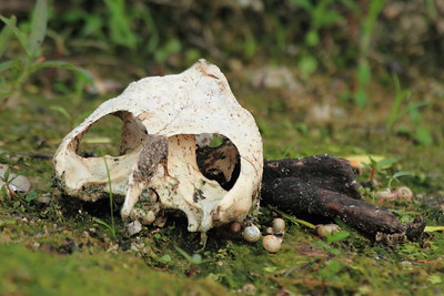 Snapping Turtle Skull- Pelican Lake