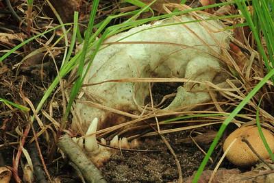 Fox Skull ?- Siren WI