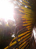 Sun through palm leaves 2