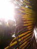 Sun through palm leaves 2