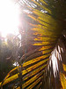 Sun through palm leaves