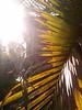 Sun through palm leaves