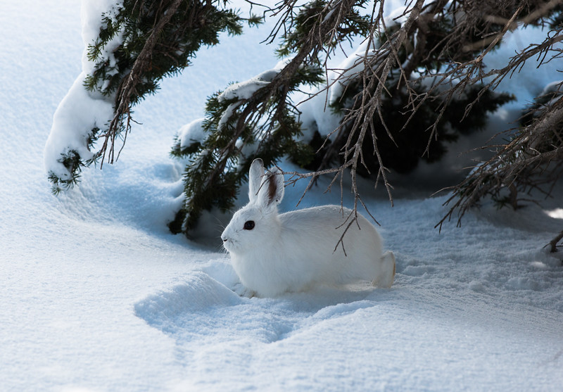 Snowshoe Hare brother