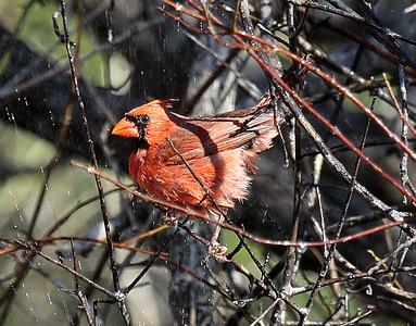 Male Cardinal behind water spray