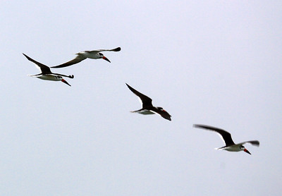 A flight of Black Skimmers passes overhead
