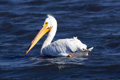 White Pelican swimming