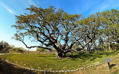 """Thousand year old """"Big Tree"""".  Goose Island State Park."""