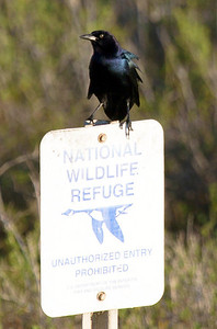 A grackle letting us know that we're now in the Refuge.