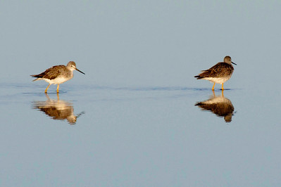 Two greater yellowlegs reflecting