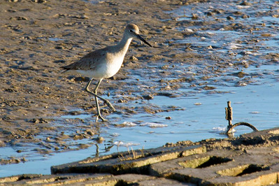 A willet walking over the the stone rip-rap breakwater.