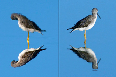 A greater yellowlegs, reflecting in the still waters of a pond in the Aransas Wildlife Refuge.