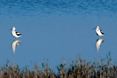 Two American avocets in another Refuge pond.