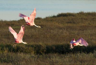 Three roseate spoonbills take flight in the morning light.