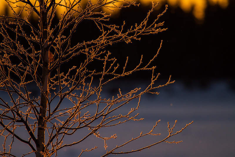 Frost covered tree lit up by the rising sun.