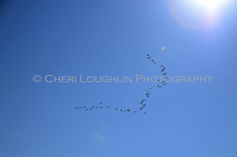 Geese, Skein, Sky