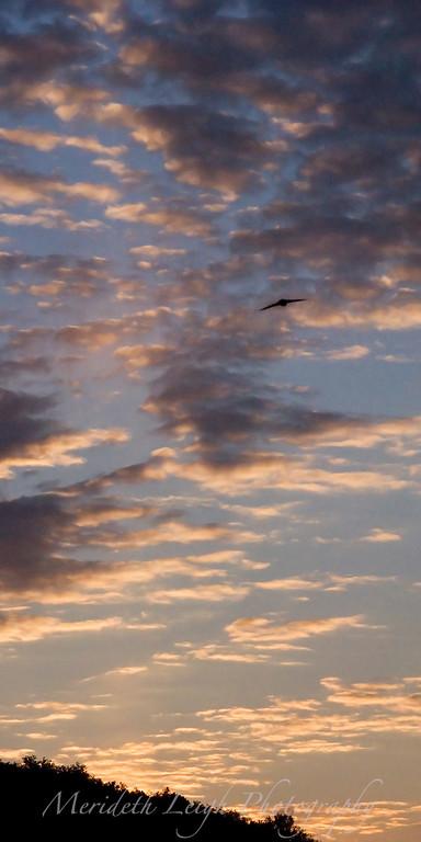 Evening Flight.  My back yard, Pittsburgh, Pa.