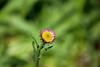 A baby daisy!