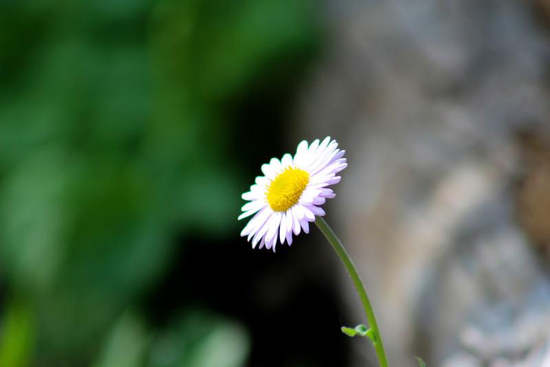 Subalpine daisies everywhere!
