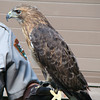Red tailed hawk at the ranger program we went to