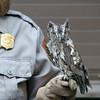 Eastern Screech Owl.  Ain't he cute?!  He is molting.