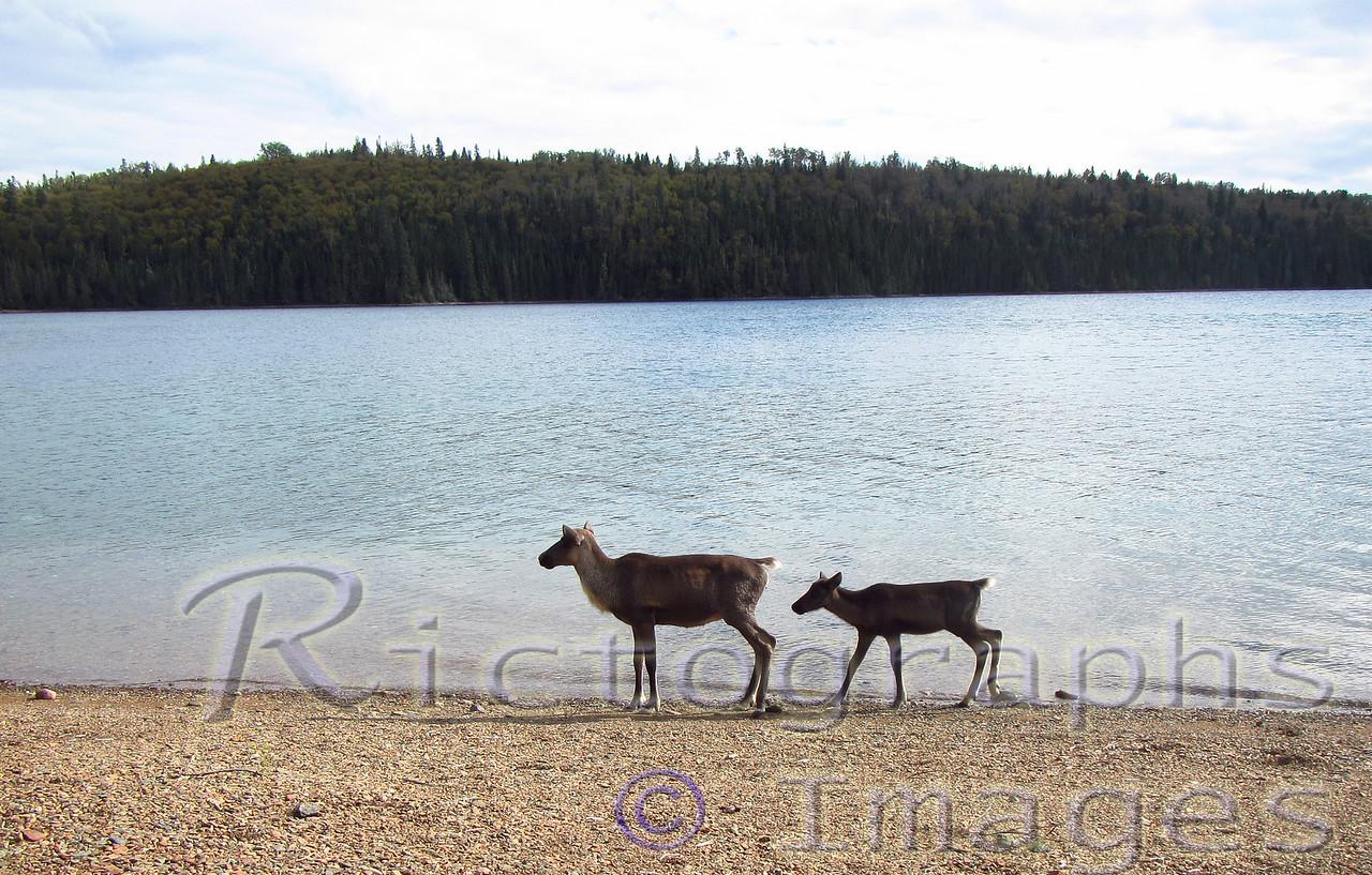 Lake Superior Slate Islands Caribou