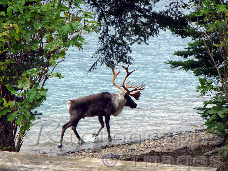 Lake Superior Caribou, Reindeer