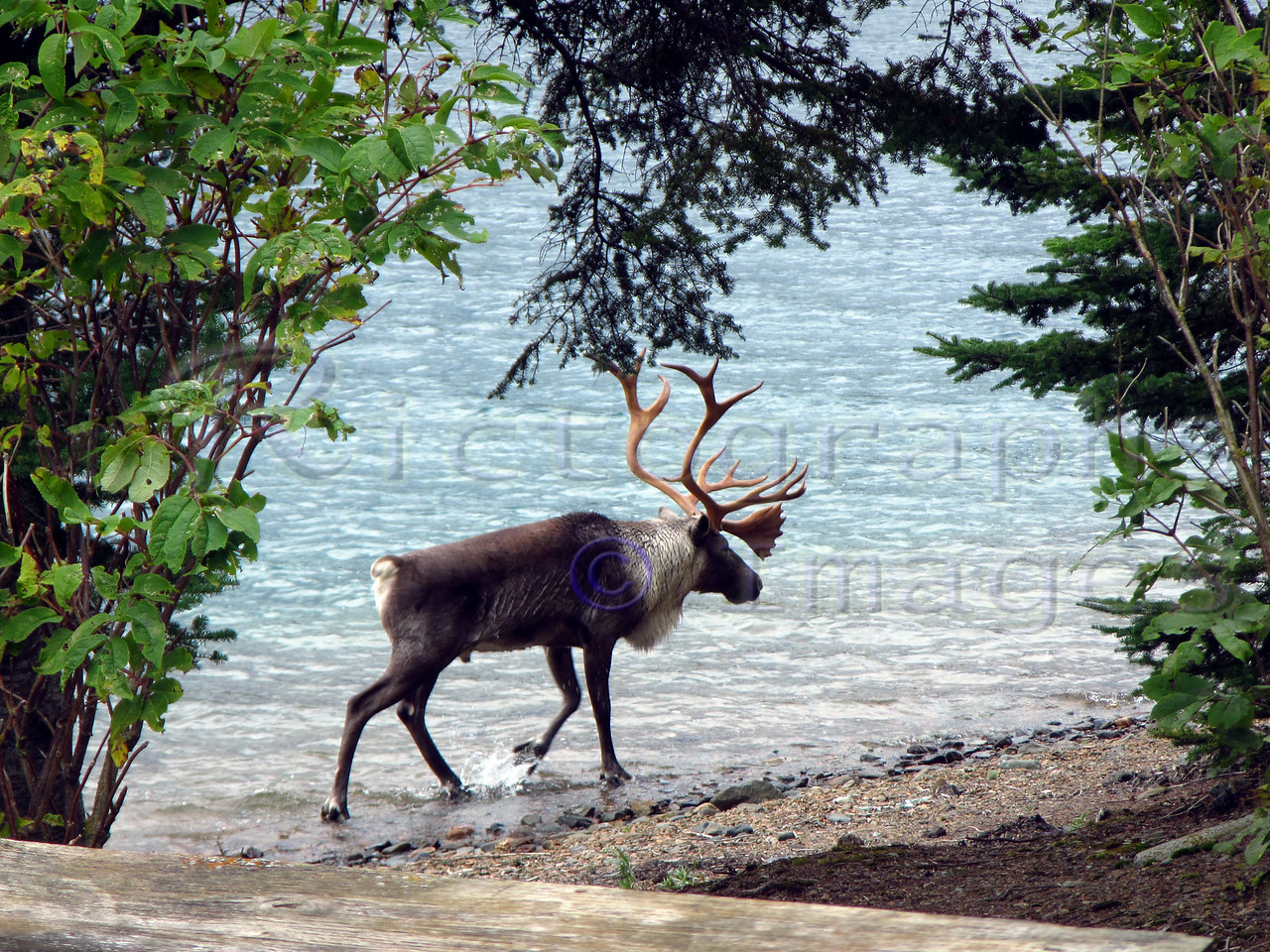 Lake Superior Caribou, Reindeer