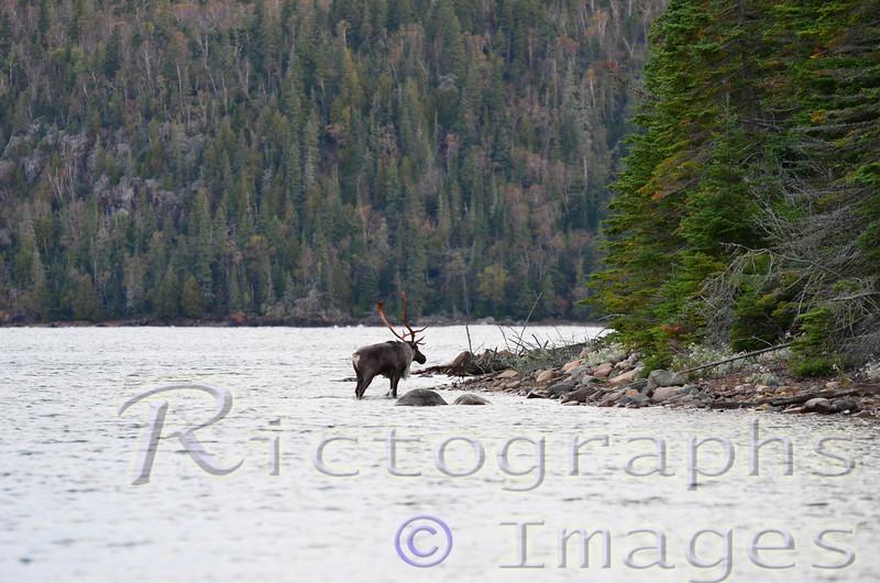 Caribou, Coming Ashore