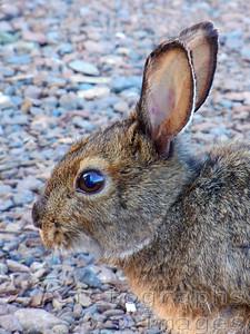 Snowshoe Hare Photo
