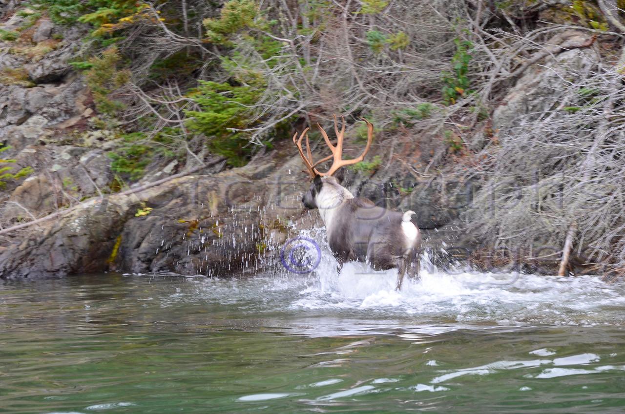 Caribou Going Ashore