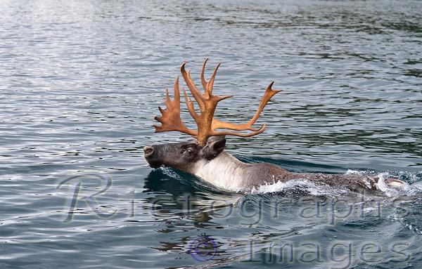 Slate Islands Caribou
