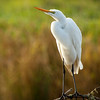This great egret was seen at Ridgefield National Wildlife Refuge. There was actually another egret on the same group of branches about 10 ft away from this one. This one however, was turned and facing me and giving me some great poses!