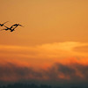Brown Pelicans flying into the sunset, Chinook WA