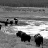 Buffalo March, Yellowstone National Park