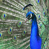 This beautiful male peacock was seen at the Olympic Game Farm in Sequem, WA